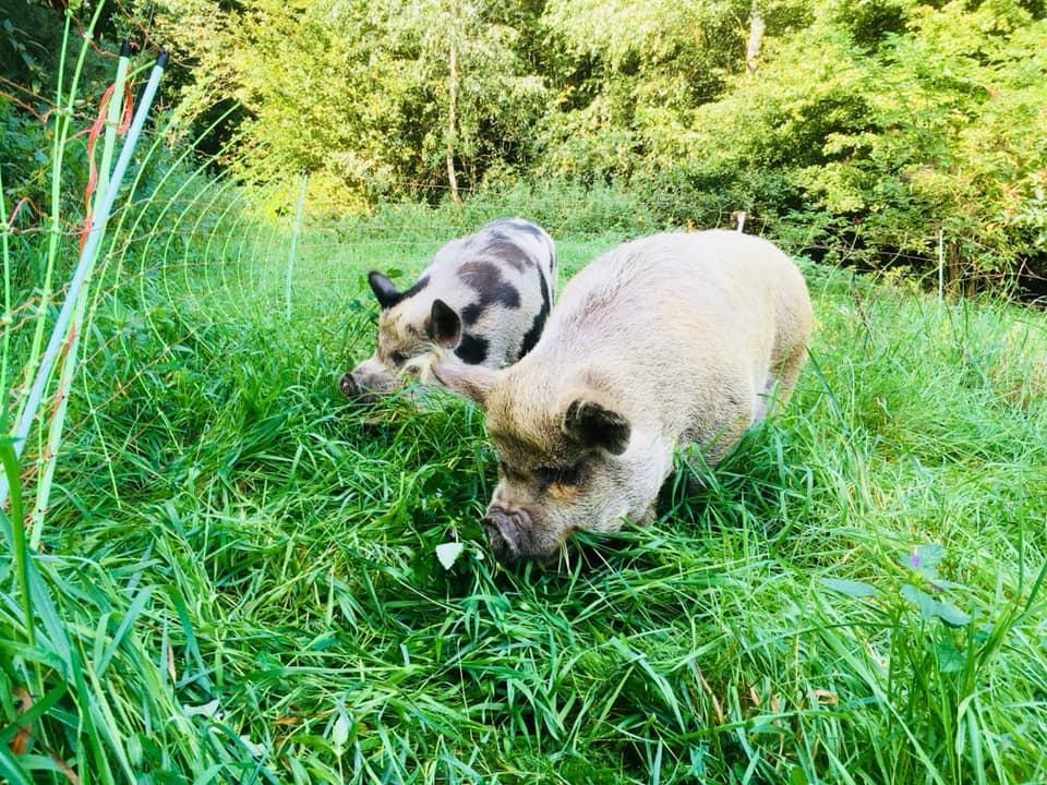 Grazende varkens